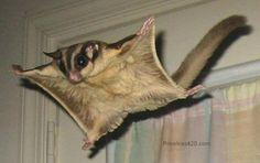 Flying Squirrel | animal wildlife flying squirrel the flying squirrel is a medium sized ...