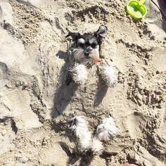 """580 Likes, 25 Comments - ROXY (@imroxytheschnauzer) on Instagram: """"Just One week away until the first day of summer....I will be waiting for you RIGHT HERE!…"""""""