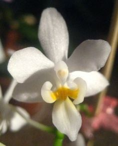 The Angel Orchids - of the thousands of orchids my husband grows, these orchids remind me of angels. See what YOU think.