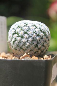 Mammillaria herrerae cactus Cacti And Succulents, Planting Succulents, Cactus Plants, Platycerium, Cactus Y Suculentas, Fruit Garden, Echeveria, Go Green, Garden Inspiration
