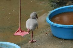 "ranpiさんのツイート: ""練習中(*´艸`*) #王子動物園 #フラミンゴ… """