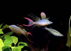 Threadfin Rainbowfish. The one on the right is a female. I have found it nearly impossible to find females in aquarium shops - fish farms don't want to release them so that people can breed these beauties themselves.