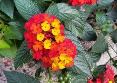 #natural #color #red #yellow #rojo #amarillo