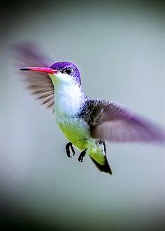 Violet Crowned Hummingbird
