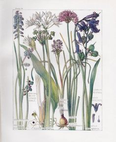 Wild Garlic Botanical Print- Isabel Adams - British Wild Flowers