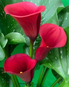 Red Pulse Calla Lily