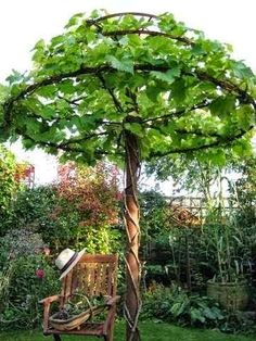 Vines trained as an umbrella..love this