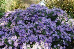 Symphyotrichum oblongifolium 'October Skies' (Aromatic Aster) October Sky, Texas Plants, Blue Daisy, Clay Soil, Garden Borders, Aster, Front Yard Landscaping, Native Plants, Garden Inspiration
