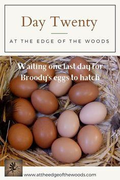 Waiting one last day for Broody's eggs to hatch #AttheEdgeoftheWoods #broodyhen #homesteading #homesteadlife #raisingchickens #chicks #resilientliving #smallfarmlife #farmfresh #realhomesteadlife Broody, Raising Chickens, The Twenties, Eggs, Homesteading, Waiting, Blog, Egg, Blogging