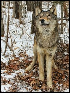 Let Me. Be. Save the Wolves. Save Our Planet.