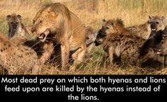 #AfricanLions #LionsFacts #Hyenas #WildAnimals #WildLife