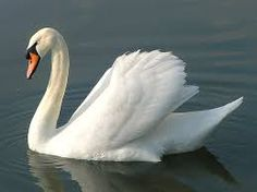 Image result for swan bird images