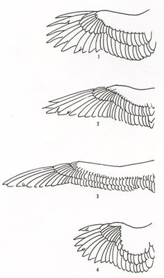 Wing Drawing - Sandy Scott 1. Soaring birds - Hawks, eagles, ravens 2. Fast Flying birds - Swallows, swifts, birds, ducks geese 3. Gliding birds –albatrosses, gulls, fulmars, shearwaters, and terns 4. Short fast flyers –pigeons, pheasants, owls