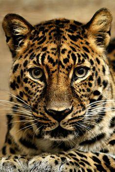 Jaguar Stare by Borislav Stefanov