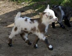 Just a sassy baby goat strutting his stuff