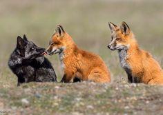 Everything Fox - mlem? Baby Animals, Funny Animals, Cute Animals, Beautiful Creatures, Animals Beautiful, Dog Anatomy, Fabulous Fox, Anthro Furry, Fox Art