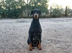 www.elitek-9.com  #doberman, #protectiondogs, #CEO, #militaryk9, #exotics Doberman Pinscher, Luxury Life, Exotic Cars, Puppies, Dogs, Animals, Instagram, Animales, Puppys