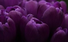 Purple tulips - flowers, purple, tulips, tulip