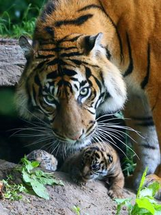In remarkable closed-circuit television footage, Chester Zoo's female Sumatran Tiger Kirana gives birth to the first of two cubs on June The cub appears about 30 seconds into the video. Photo Credit: Chester Zoo Kirana's mate, six-year-old Fabi, does. Big Cats, Cats And Kittens, Cute Cats, Siamese Cats, Beautiful Cats, Animals Beautiful, Beautiful Creatures, Grand Chat, Tiger Moms