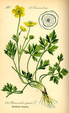 "Ranunculus acris - ""Google"" paieška"