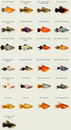 Koi Breed Chart Garden ponds Koi fish colors, Koi