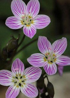 Carolina Spring Beauty By Doris Potter