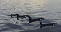 "#Sea #Ocean #Animals www.pegasebuzz.com | Orca, orque, killer whale, black fish. ""Great family portrait of the Bigg's… |www.ShareMySea.fr"