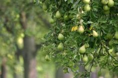 Starting an Orchard: