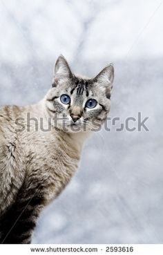 Siamese Tabby Cat | Beautiful Domesticated Siamese/Tabby Cat Stares Stock Photo 2593616 ...