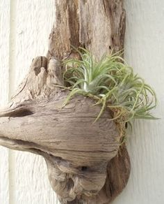 Growing air plants on driftwood.