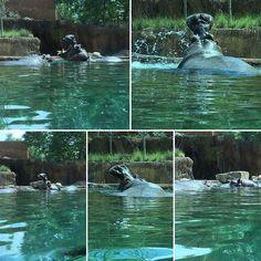 The new Zambezi river exhibit @memphiszoo is pretty cool. #memphis #memphiszoo #tennessee #animals