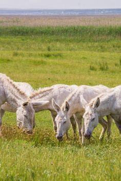 Rare White Barok Donkeys: Discover Beauty around Neusiedlersee in Burgenland Austria | The Travel Tester