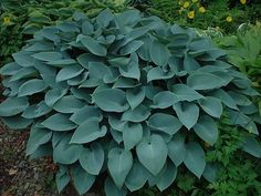 Hosta 'Halcyon'...a smaller-leaved blue hosta to pair with almost any other hosta you can think of. Plant in full shade to preserve the blue color throughout the summer. Looks fabulous with Heuchera 'Purple Petticoats' and Japanese painted fern 'Pictum.'