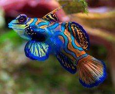 Mandarin fish :The tiny but flamboyant Mandarin fish is a popular aquarium fish.