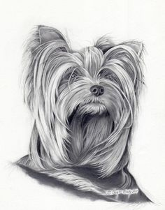 ❤️ Yorkshire Terrier sketch