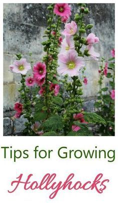Hollyhocks are a flower that is often grown in cottage gardens. See my tips for growing these pretty plants. flower garden Growing Hollyhocks - A Traditional Cottage Garden Favorite Growing Hollyhocks, Hollyhocks Flowers, Growing Flowers, Planting Flowers, Flower Gardening, Flower Garden Design, Container Gardening, Gardening Tips, Organic Gardening
