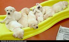 Lab puppies are so cute!