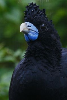 Blue-Billed Curassow, found only in Colombia. Natural habitat is subtropical or tropical moist lowland forests.