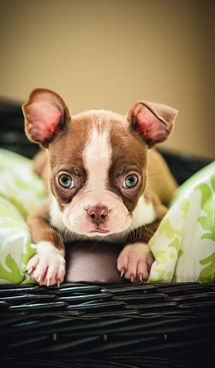 Cute As A Button Red Boston Terrier Puppy