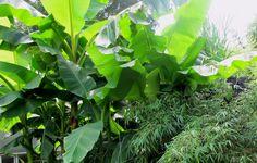 Musa basjoo (Bild rechts) Eine Banane im Freien. Bananen gehören zu den Pflanzen der Tropen. Es ist kaum vorstellbar dass diese exotische Pflanze in unseren Gärten gepflegt werden kann. Eine Art, Musa basjoo, ist gut für diesen Zweck geeignet. In unserem Klima kann er draußen überwintern und jedes Jahr eine Höhe von 3 bis 5 Meter erreichen. Die Wurzeln und Stämme müssen mit alten Blätter und Stroh gegen Frost geschützt werden.
