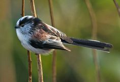 rs2-long-tailed-tit.jpg (800×546)