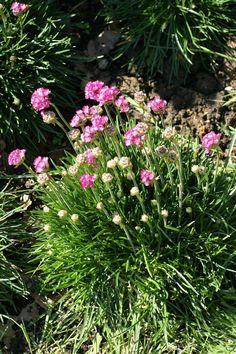 http://faaxaal.forumgratuit.ca/t3915-photo-de-plombaginacee-armerie-maritime-gazon-d-espagne-armeria-maritima-sea-thrift-sea-pink