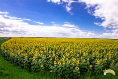 A guide to visiting North Dakota sunflowers Dakota Do Norte, Healing Crystals, North Dakota, Sunflowers, Creativity, Wanderlust, Trees, Weather, Usa