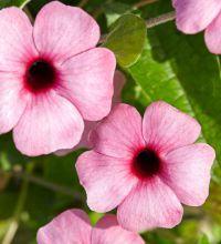 Mustasilmäsusanna 'Sunny Susy® Rose Sensation' Rose, Plants, Garden Planning, Pink, Plant, Roses, Planets