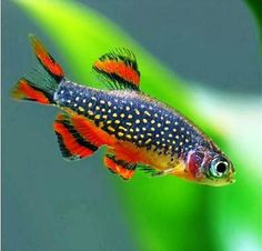 Galaxy Rasbora - I would like a school of at least 12+ of these little guys. There is no prettier nano schooling fish in my opinion.