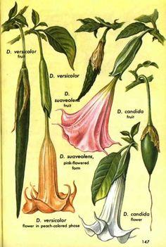 """Erowid Online Books : """"Golden Guide Hallucinogenic Plants"""" - pg 141-150"""