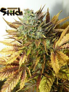 Purple Sirius Kush Autoflowering Feminised Seeds - 3 by the cannabis breeder… Go and visit our blog site: https://weed-smart.com/best-bongs/