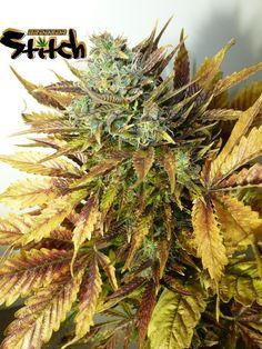 Purple Sirius Kush Autoflowering Feminised Seeds - 3 by the cannabis breeder…