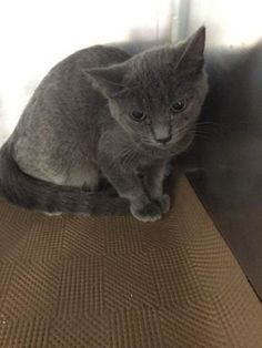 ABBY aka ABE - A1088301 - - Manhattan   ***TO BE DESTROYED 09/11/16 ***A SECOND CHANCE FOR SWEET KITTEN ABE–LET'S MAKE SURE WE GET HIM OUT!!! A IS FOR ABANDONED….Abe came from a group of twelve found outside wet and dirty with conjuctivitis and uri's …..he is a 4-6 month old kitten and could certainly use a warm, loving environment and some good home cooked meals…..As one would expect, he is a bit tentative but will warm up when given tim