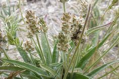 Plantago ovata para o intestino